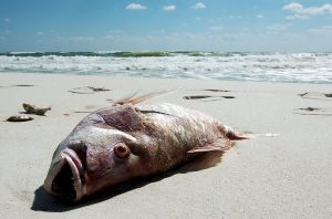 Dead fish laying on the beach - effects of Red Tide