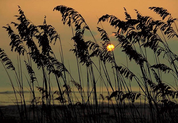 Sea Oats_AllardPPC©